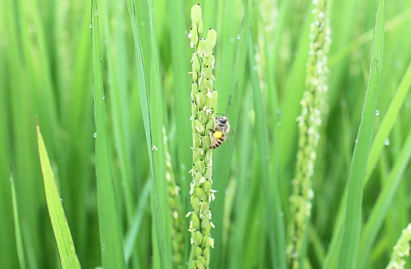 自然栽培米の稲にきた二ホンミツバチ