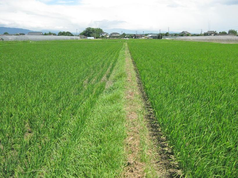 平田自然栽培米稲比較