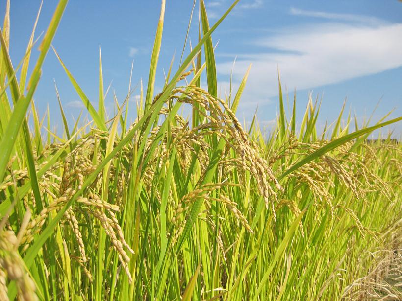 平田自然栽培米稲