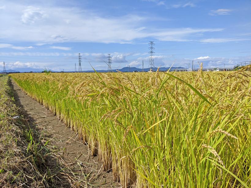 稲本自然栽培米の稲