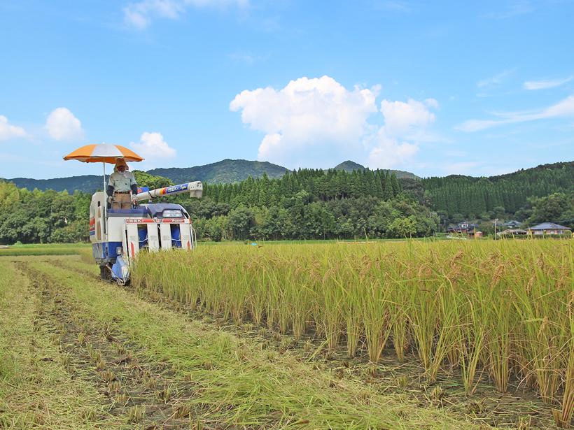川﨑自然栽培米稲刈り