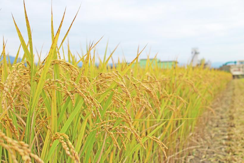 小池自然栽培米稲