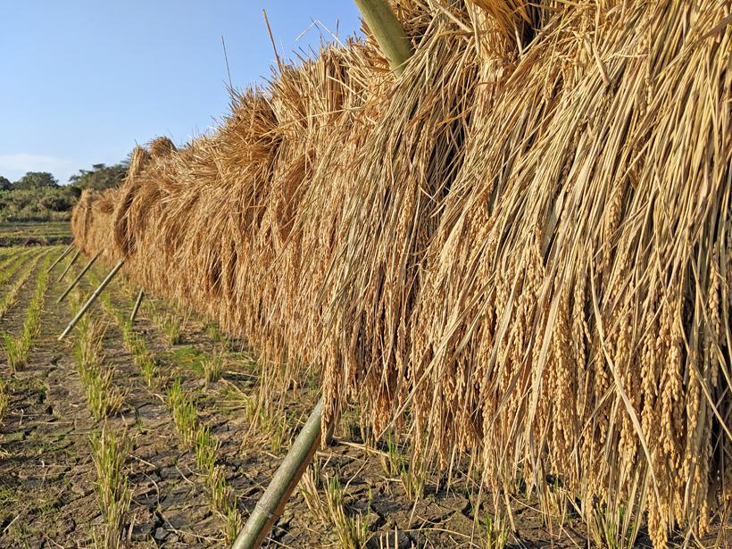 渡辺自然栽培米天日干し米