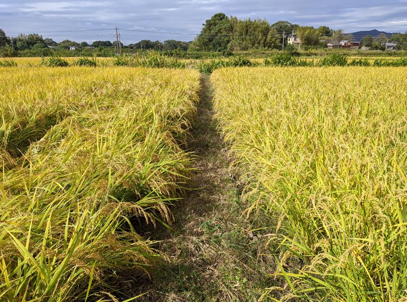 植田自然栽培米の色比較