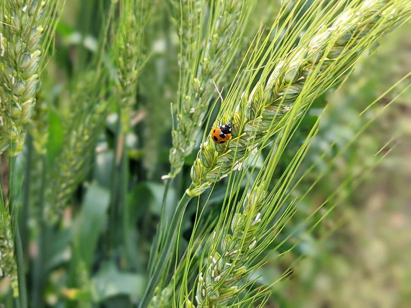 自然栽培小麦につくテントウムシ