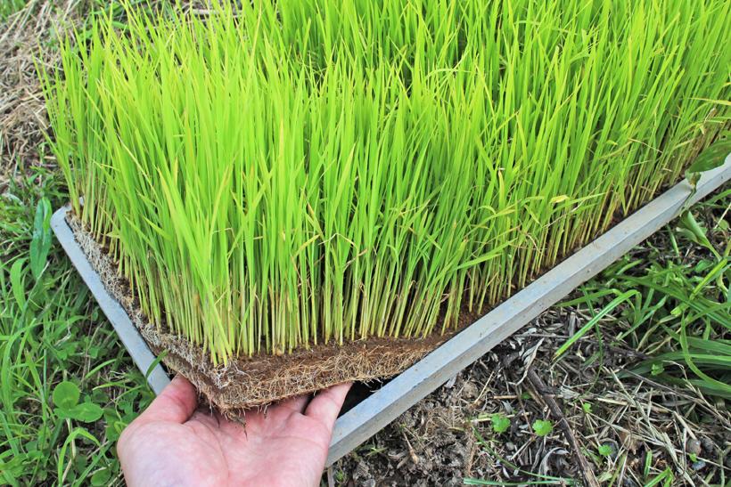 自然栽培米の苗