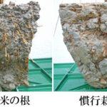 根の違い!自然栽培米VS慣行栽培米
