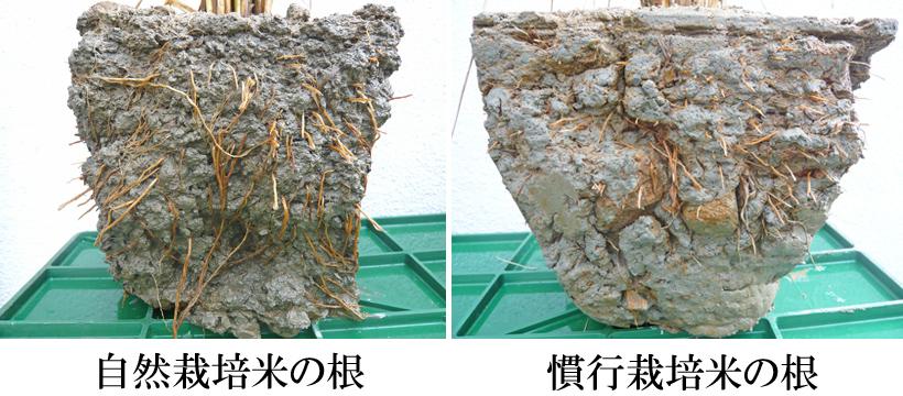 自然栽培米の根の比較