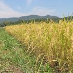 自然栽培米での肥料分とは!|無肥料栽培でできるのか?