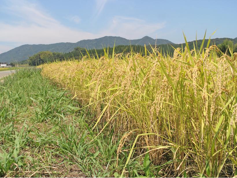 自然栽培米での肥料分とは! 無肥料栽培でできるのか?