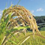 自然栽培米では自家採種は重要ポイント!