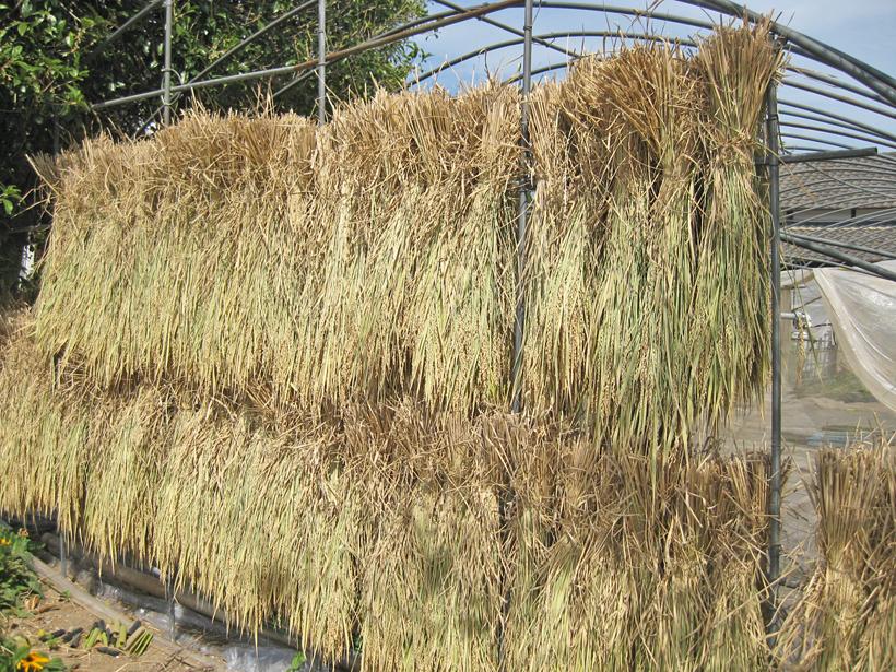 天日干し自然栽培米
