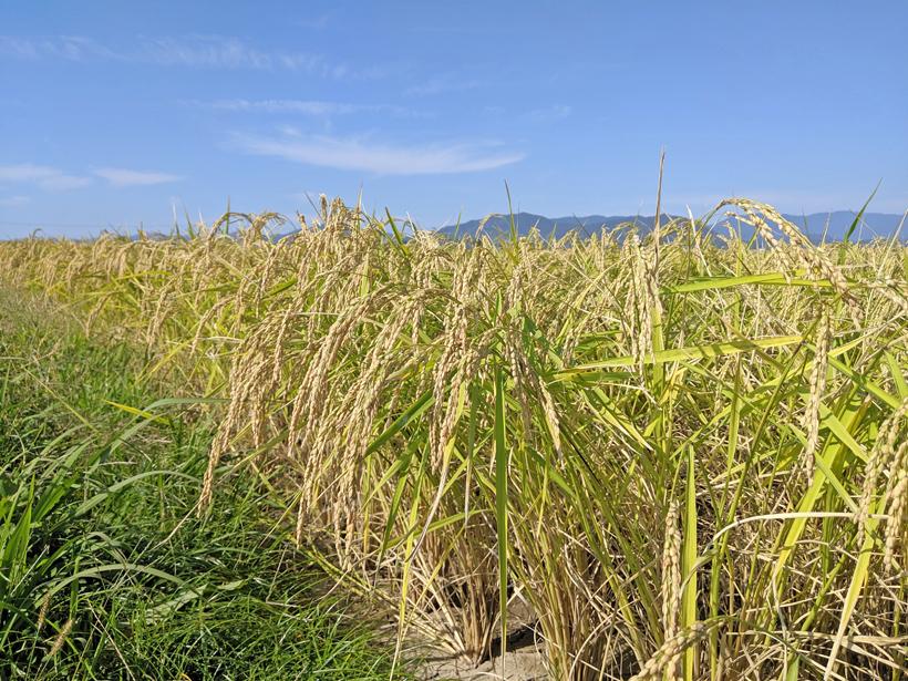 七城米の稲