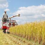 自然栽培米収穫時の稲の特徴とは!?