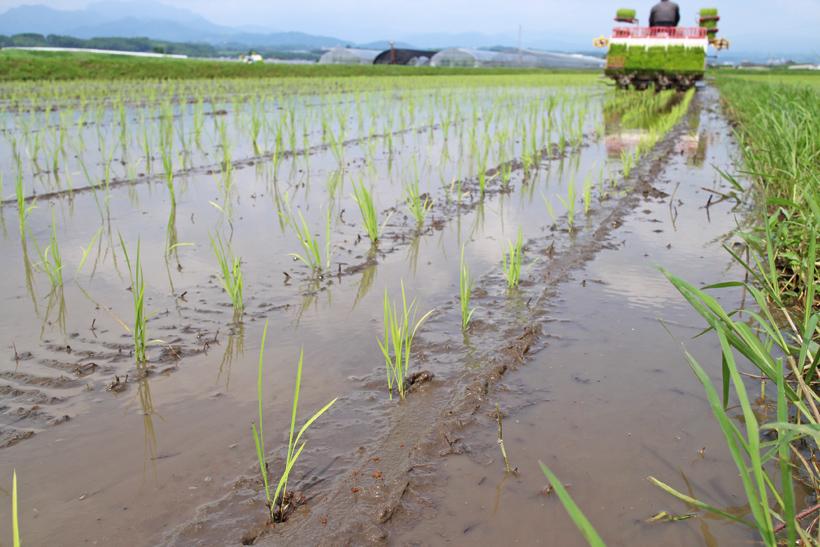 冨田自然栽培米田植え後の苗