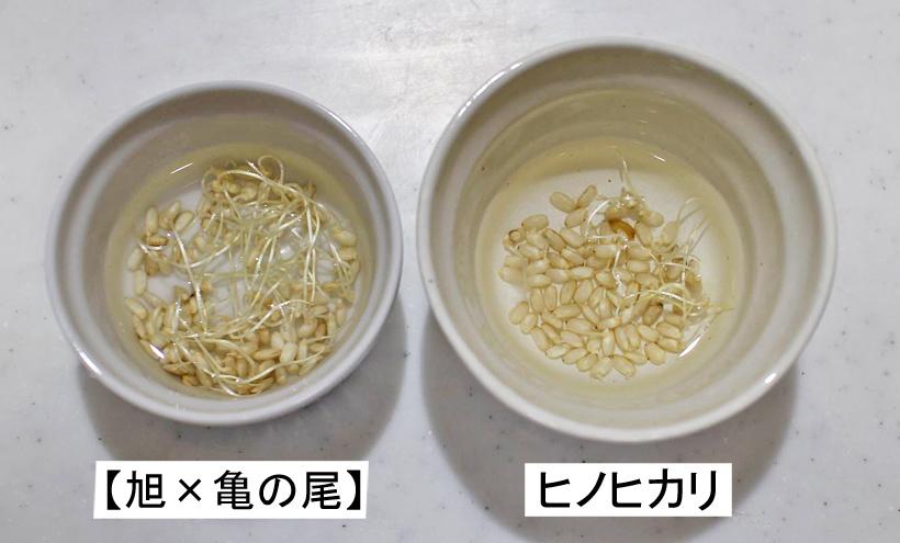 旭亀の尾とヒノヒカリの玄米比較