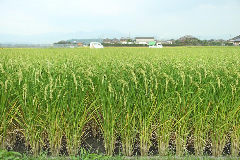 旭亀の尾の稲