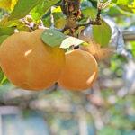 無農薬の梨探し|熊本県荒尾市の豊水・新高