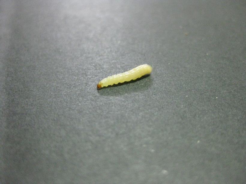 ノシメマダラメイガの幼虫