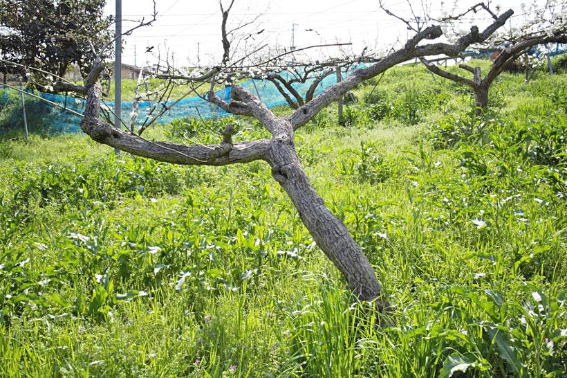 梨の樹が枯れる