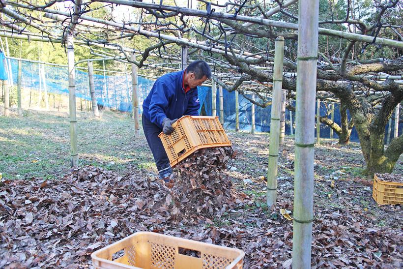 クヌギの葉を撒く