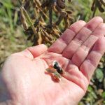 自然栽培黒千石大豆の畑の世界