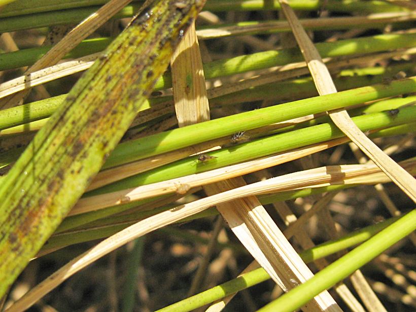 自然栽培米とウンカの被害