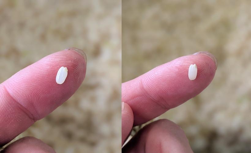 自然栽培米発芽の比較