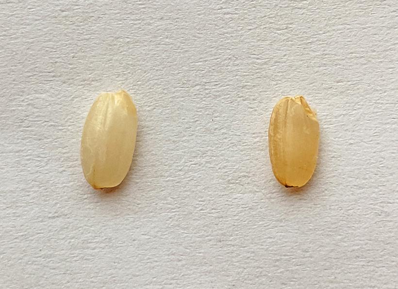 発芽玄米とは