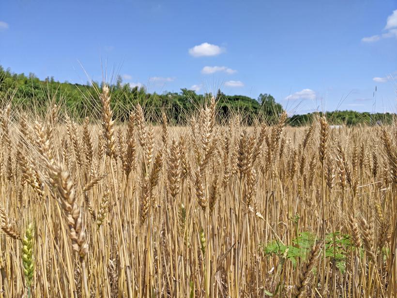 自然栽培小麦