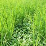 有害動物(ジャンボタニシ)の生態を逆手にとった草対策 平田真佐光の自然栽培米